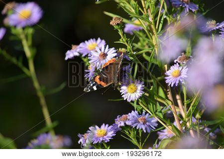 Image of a Red Admiral butterfly resting on a purple Michaelmas daisy