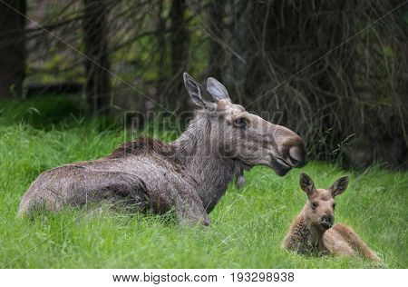 Alces alces - Moose with a baby close up