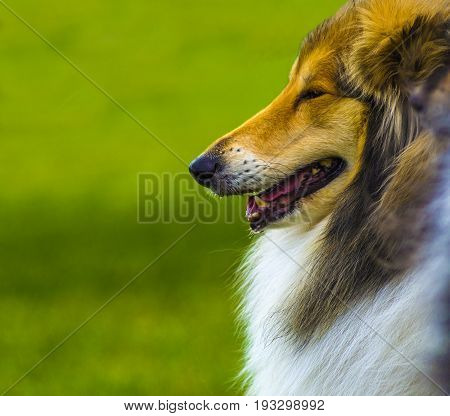 Dog collie. The collie is a distinctive type of herding dog including many related land races and formal breeds. Portrait of purebred dog Rough Collie.