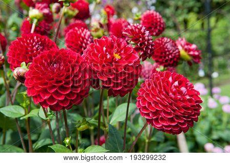 Red flower Dahlia corner ball in the garden
