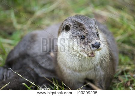 otter - Lutra lutra in nature close up