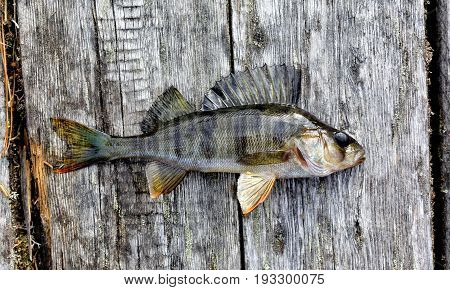 Living Siberian lake perch lying on the old boards