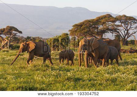 Few elephants near Kilimanjaro mountain. Kenya, Eastest Africa