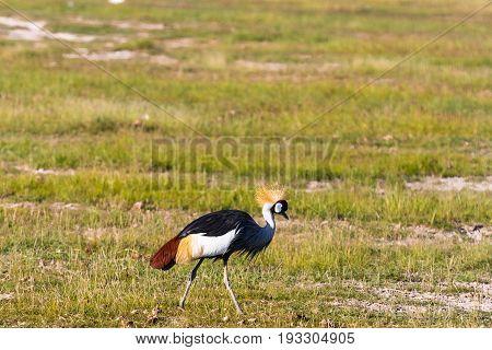 Crone crane on shore. Amboseli, Kenya. Eastest Africa
