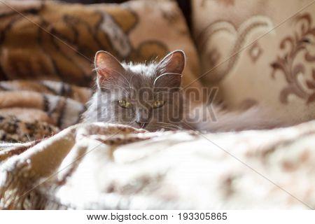 Смоленская домашняя кошка, одна из разновидностей помеси домашни