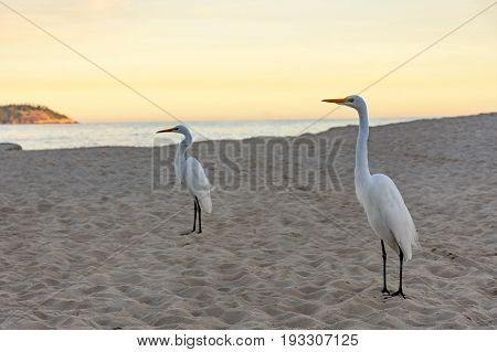White heron perches on the sand of Ipanema beach at sunset