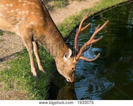 Nara Deer Drinking