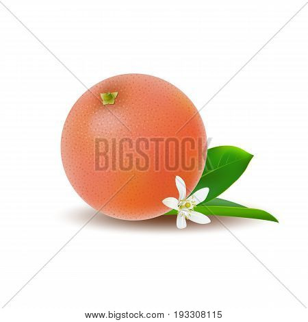 Isolated colored whole juicy pink grapefruit with green leaf white flower and shadow on white background. Realistic citrus fruit