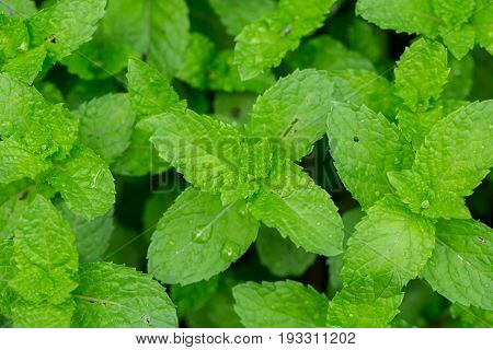 Peppermint Leaf Home herbal garden with Label Nontoxic clean plant Organic vegetables for food.