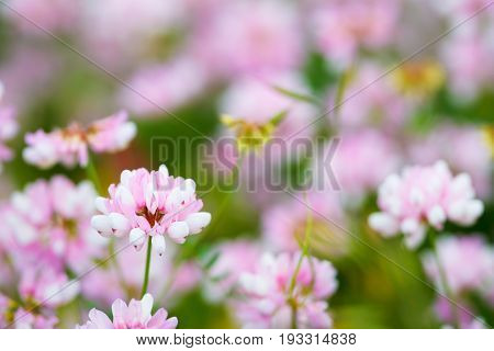 Field of clover flowers summer spring background