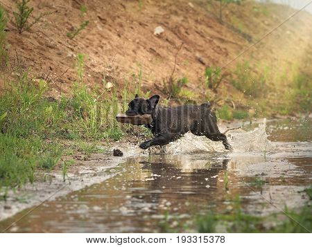 The dog runs through a puddle and carries in his teeth a stick. Water splashes and dirt