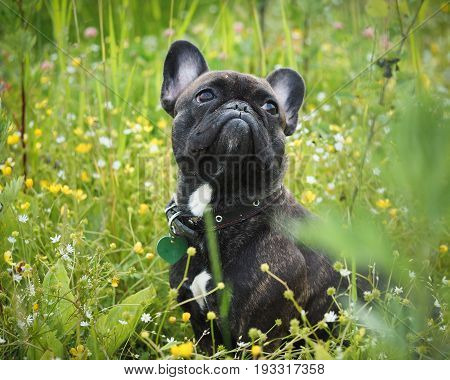Funny dog. The bulldog's face in the pollen of plants. Tall grass flowers