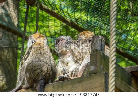 Japanese Snow Monkey Brown Macaque Picking Fleas Insects On The Face Of The Other