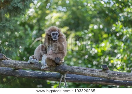 Gibbon Sat On Bridge Made By Trunks With Trees And Leaves On The Background