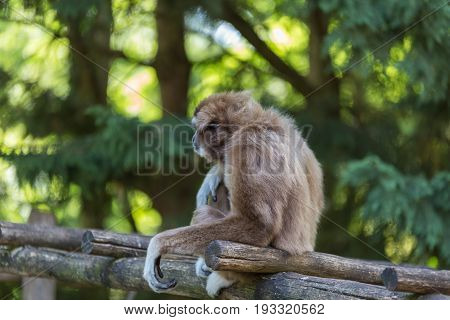 Gibbon Sat On Bridge Made By Trunks With Trees And Leaves On The Blurry Background - Side Back View