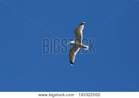 Flying Seagull in blue sky. Free wild bird high in the atmosphere.
