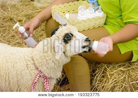 Sheep Are Suckling From A Bottle