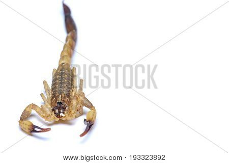 The scorpion corpse on a white background.