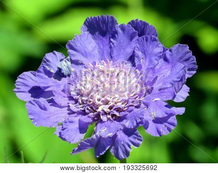 Blue poppy flower in garden on bank of the Lake Ontario in Toronto Canada August 2 2016