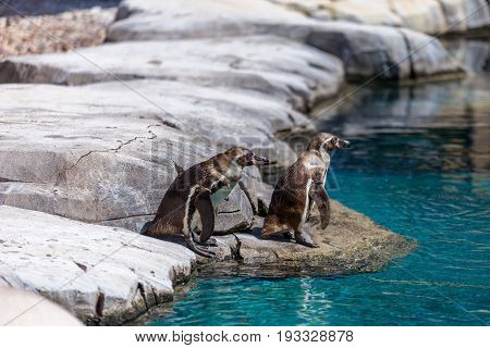Two Galapagos Penguins On Rocks Ready To Dive On Icy Water