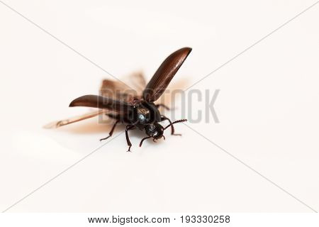 This is a picture of a Beetle with open wings