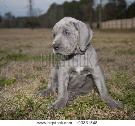 Purebred Great Dane puppy that is gray and looks sade