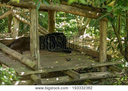 Black Jaguar Sleeping Taking A Nap On A Wooden Deck Shade - Panthera Onca