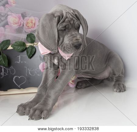 Gray Great Dane purebred puppy with a chalkboard that says I do too