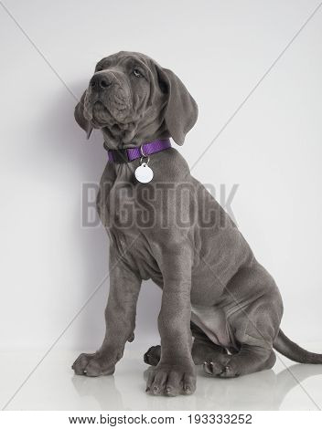 Purebred gray Great Dane puppy sitting on a white background