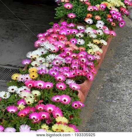 Summer flowers: Livingstone daisy flowers in the pots