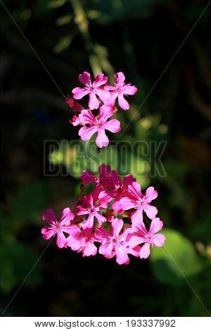 Silene Armeria flower also known as Sweet William