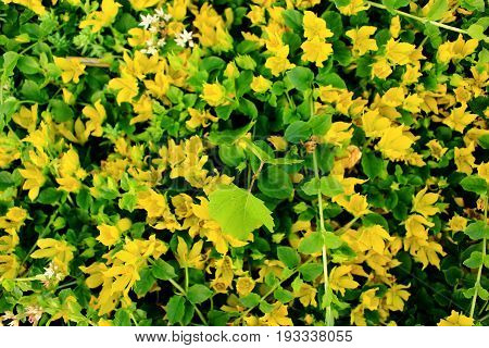 Lysimachia Nummularia flower that is also known as Creeping Jenny or Moneywort