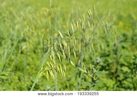 Oat field, green oat plant in field, oat plant images from cereals