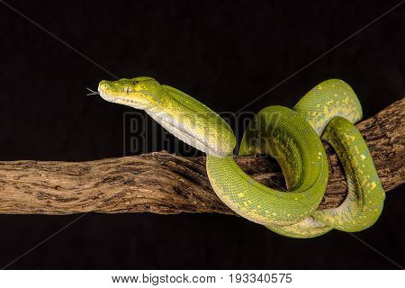A close up of a green tree python curled around a branch with its tongue protruding
