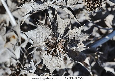 Dried thistle flowers on the island of Kos in Greece