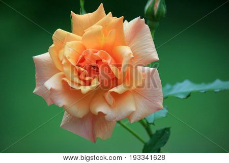 Beautiful peach colored rose, opened fully under Summer sun