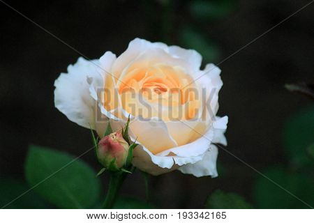 Beautiful image of rose in the soft buttery color of yellow
