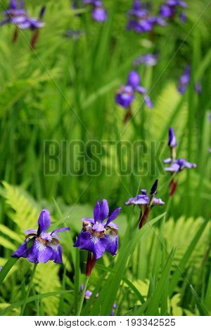 Vertical image of tall grass and fern with wild iris in beautiful purple color