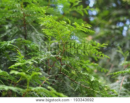 Beautiful closeup of evergreen thuya tree branch with blured background