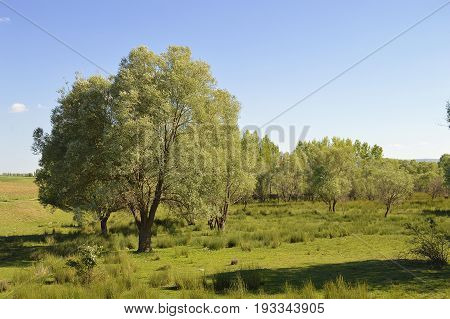 Willow trees growing in natural environment, large willow trees landscape pictures
