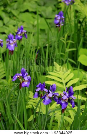 Woodsy picture of purple iris tucked into blades of green grass and healthy ferns.
