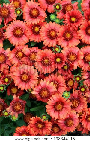 Vertical image of bright and colorful burnt orange flowers, open to  the Summertime warmth and sunny days.