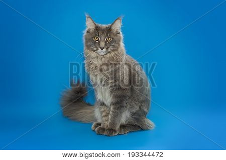 Gray fluffy Maine Coon sits on a blue background.