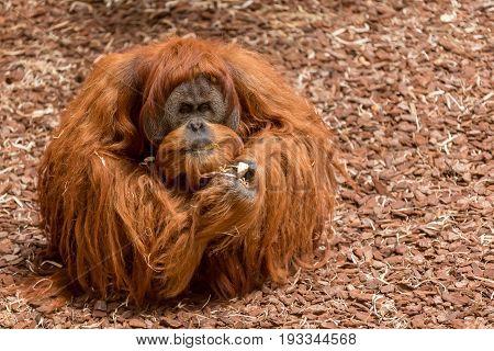 Bornean Orangutan Male Sat On The Floor An Eating