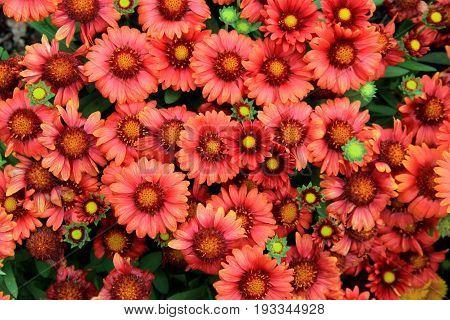 Beautiful background of burnt orange color flowers in backyard garden