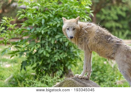 Sad Skinny White Wolf Shedding Staring And With Its From Paws On A Rock