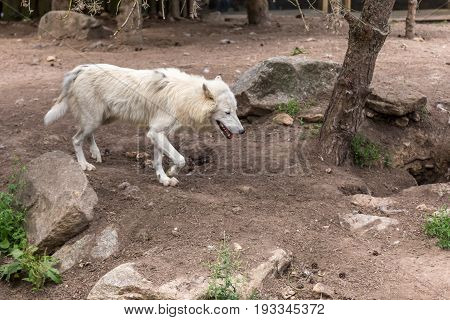 White Wolf Walking On Brown Ground Earth With Rocks And Trees On The Background