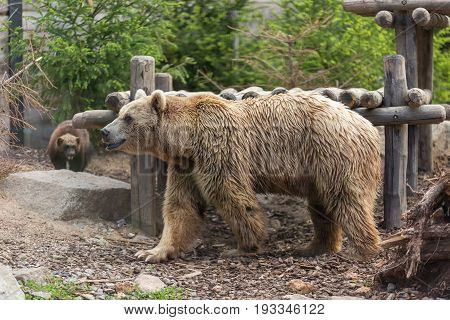 Male Brown Grizzly Bear Walking In Front Of A Wooden Deck Shade, Trees And A Wolverine