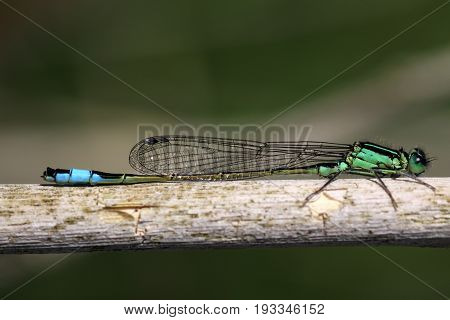 Closeup of a green and turquoise damselfly.
