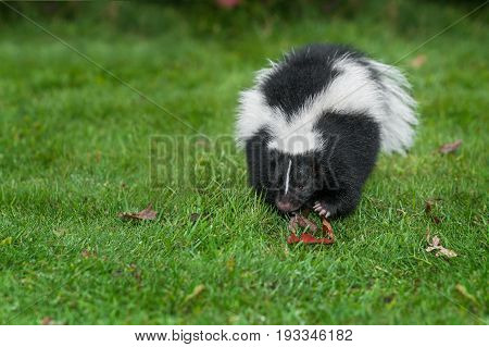Striped Skunk (Mephitis mephitis) Charges Forward - captive animal